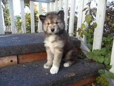 Timber Wolf Mix White Arctic Wolf Mix Siberian Husky. Just