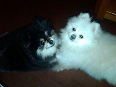 Pomeranians (black & white mama)