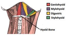 suprahyoid muscles - Google Search
