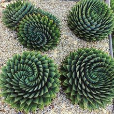 How many succulents do you have in your garden? If you want to learn more about the most popular succulents you need in your succulent garden, read more! Types Of Succulents, Cacti And Succulents, Planting Succulents, Cactus Plants, Garden Plants, House Plants, Planting Flowers, Cactus Garden Ideas, Flower Plants