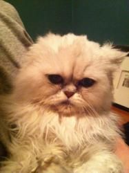 Adopt Georgie On Cats And Kittens Cat Rescue Persian Cat
