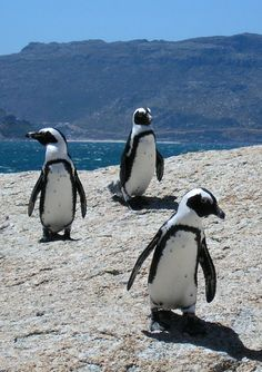 penguins in Boulders, South Africa
