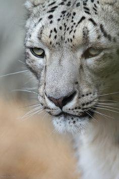 snow leopard face | Flickr - Photo Sharing!