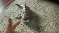 Baby shark can't stop laughing! 😂 😂 😂 😍 Happy and smiling baby shark 🦈🦈🦈