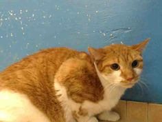 TO BE DESTROYED 12/13/13 Brooklyn Center  My name is TOMASA. My Animal ID # is A0986128. I am a female org tabby and white domestic sh mix. The shelter thinks I am about 3 YEARS old.  I came in the shelter as a STRAY on 11/27/2013 from NY 11385, owner surrender reason stated was ABANDON. https://www.facebook.com/photo.php?fbid=714461415232360&set=a.576546742357162.1073741827.155925874419253&type=3&permPage=1