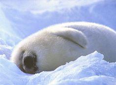 Seal pup snoozing