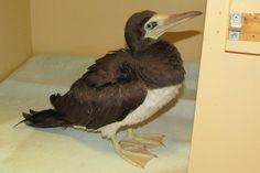 #Rare Brown Booby seabird found in Victoria dies - Peninsula News Review: Peninsula News Review Rare Brown Booby seabird found in Victoria…