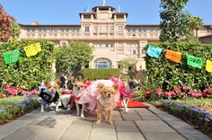 Papi, Chloe and the pups home to your family with Beverly Hills Chihuahua 3 Viva La Fiesta! Dog Friendly Hotels, Pet Friendly Accommodation, Hotels In Pasadena, Pasadena California, Beverly Hills Chihuahua, Chihuahua Art, Puppy Party, Find Pets, Hotels Near