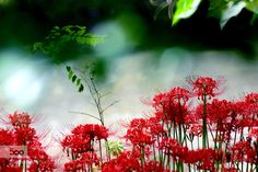 Cluster Amaryllis Interplay between the light and the leaves flowers of cluster amaryllis and surface of the water with sparkling bokeh.  Please press M for a better view.