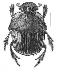 Dung beetle drawing