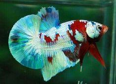 Aquarium Setup, Aquarium Ideas, Aquarium Fish, Betta Fish Types, Fish Tanks, Sea World, Livestock, Habitats, Fresh Water