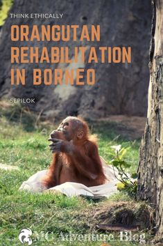 Is the Sepilok Orangutan Rehabilitation Centre an ethical choice for your Holidays? Orangutan Sanctuary, Borneo Orangutan, Baby Orangutan, Orangutans, Malaysia Travel, Singapore Travel, Asia Travel, Travel Couple, Family Travel