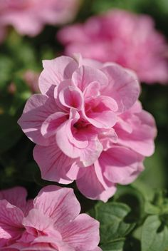 Parks Wholesale Plants - Pink Double Wave Petunias have striking double blooms of light pink with darker veins running throughout. Amazing Flowers, Pink Flowers, Beautiful Flowers, Petunias, Pink Geranium, Best Greenhouse, Pink Garden, Geraniums, Beautiful Gardens
