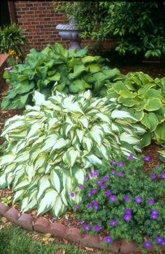 Hosta 'White Elephant'. This large, fast growing, white-centered hosta is a sport of H. 'White Christmas'.