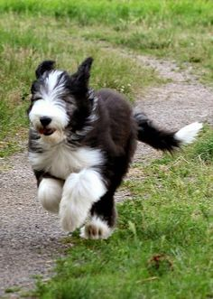Bearded Collie Running Big Dogs, Dogs And Puppies, Scooby Dog, Running Pictures, Cute Cats, Adorable Dogs, Bearded Collie, Fluffy Dogs, Old English Sheepdog