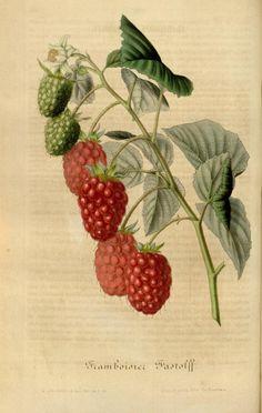 Flore des serres et des jardins de l'Europe, Vol IV, Louis Van Houtte, 1848.