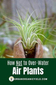 Air plants are simple plants to take care of.  Air plants just need enough light and water to thrive.  But, how much water to give an air plant?  Find out more for ideas on how much and how often you should soak air plants to keep them alive.  #AirPlants #Houseplants #IndoorGardening  #Gardening #UrbanOrganicYield Types Of Air Plants, Air Plants Care, Plant Care, Succulent Soil, Succulents, Hydroponic Gardening, Gardening Tips, Indoor Garden, Indoor Plants