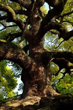 camphor trees of shoren-in by Va