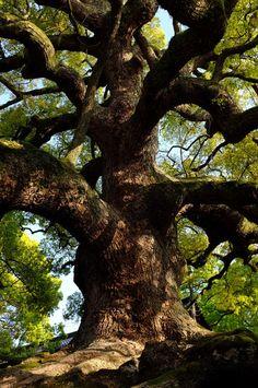 camphor trees of shoren-in by Va