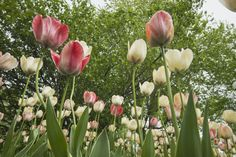 Pink and White Tulips at the Ottawa Tulip Festival - Travel McCoy Tours