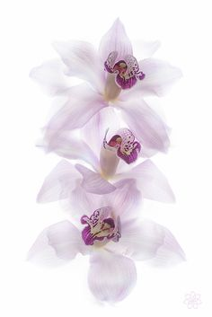 Orchids (by Jacky Parker Floral Art) iphone wallpaper