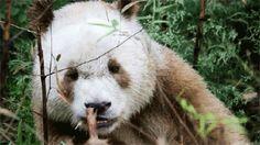 brown panda - Google Search