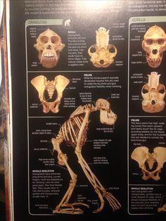 Skull Anatomy, Eat Fruit, Orangutan, Face, The Face, Faces, Facial