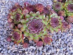 Sempervivum 'Strider'