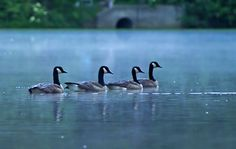Morning Mist Geese. In Akbar Photography