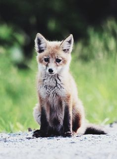 Red Fox Cub - Photographer unknown