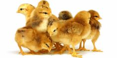 A brooder is the baby chick's home for the first few weeks of its life and will provide everything the hen does for her offspring after they hatch. The five main items needed for an effective set up are the brooder, bedding, waterer, feeder, and a heat source.