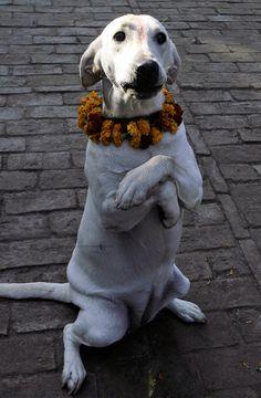 Nepal's Kukur Tihar Festival Celebrates Dogs-A festival to honour man's best friend