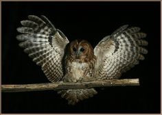20110227_d3b_20110103_0456_058_fb3 tawny owl landing on perch (crop)(r+mb id@1024).jpg (1040×744)