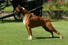 Fantastic boxer dogs detail is available on our site. Read more and you wont be sorry you did. I Love Dogs, Cute Dogs, Boxer Dogs, Boxer Rescue, Boxers, Dog Fighting, Cesar Millan, Dogs Of The World, Beautiful Dogs