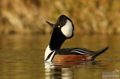 """Photograph Donald Quintana writes that this Hooded Merganser Drake is in the midst of head pumping, a silent display where the bird thrusts its neck and head forward in a seemingly aggressive manner. """"Truly one of the most bizarre displays I have ever seen in a duck!"""""""