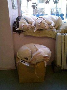Awe all the little bullies asleep. Mini Bull Terrier Puppies, Perros Bull Terrier, Bull Terrier Funny, British Bull Terrier, Miniature Bull Terrier, English Bull Terriers, Beautiful Dogs, Animals Beautiful, Cute Animals