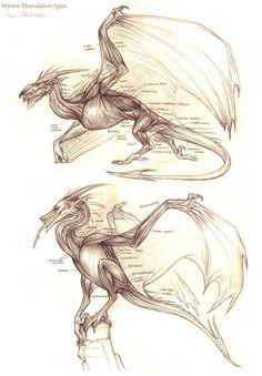 Wyvern Musculature by KatePfeilschiefter.deviantart.com on @deviantART