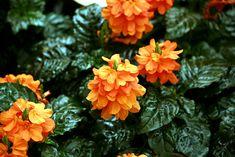 Crossandra Infundibuliformis The Firecracker Flower
