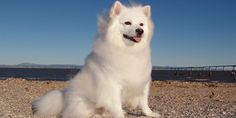 Learn all about the #AmericanEskimoDog information, pictures, #AmericanEskimoshedding, size, behavior, health, #dogprice in India and much more.