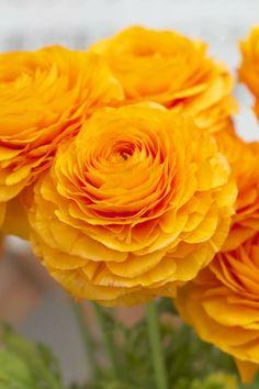 Golden Ranunculus