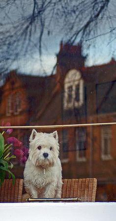 An Edinburgh West Highland White Terrier