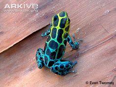 Zimmermann's poison frog