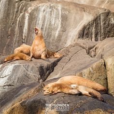 Happy hump day!  Hang in there folks the weekend is just around the corner!  Subject: Stellar sea lion Location: Alaska  #timplowdenphotography #humpday #wednesday #midweek #sealion #sea #marine  #marinelife #sleepy #lazy #tired #rookery #mammal #wildlife #animal #nature #wild #alaska #alaskanadventures #habitat #wildlifephotography