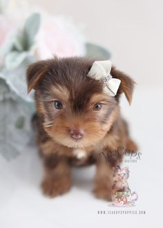 Micro Teacup Puppies, Tea Cups, Teddy Bear, Search, Google, Animals, Luxury, Research, Animales