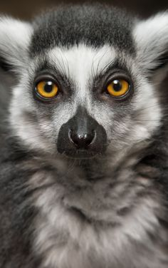 Ring-Tailed Lemur | von William T Hornaday