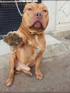 Pitt-Bull selfie #maledog #malepitbull