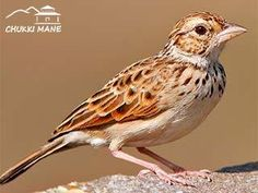 #‎Bushlark‬ at ‪#‎ChukkiMane‬  It is pale and is mostly found in arid areas. It has a cheek patch completely bounded by a white supercilium and post-auricular border. The crown and upperparts are heavily streaked. The pale underparts have large spots on the breast. It is distinguished from Jerdon's bush lark by its longer tail, shorter bill and legs. Most of its wing coverts, tertials and central tail feathers have pale centres. The primary coverts look all brown.