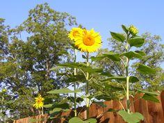 Sunflowers in my garden <3