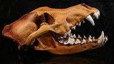 Great Large Vintage Wild Dog Jackal Coyote Wolf Skull Resin copy collect study | eBay