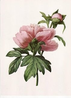 pink peonies graphic